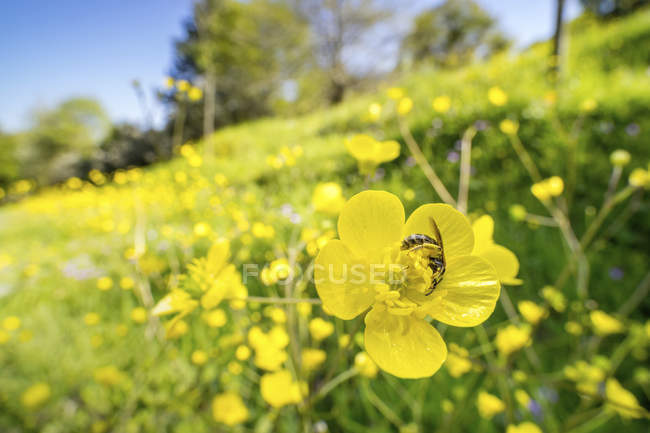 Sweat bee searching for nectar in buttercup flowers. — Stock Photo