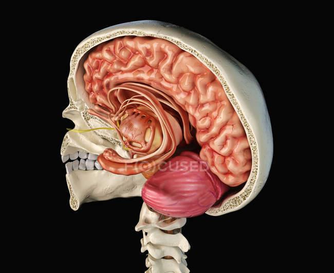 Calavera humana de sección media sagital con cerebro, vista de perspectiva sobre fondo negro . - foto de stock