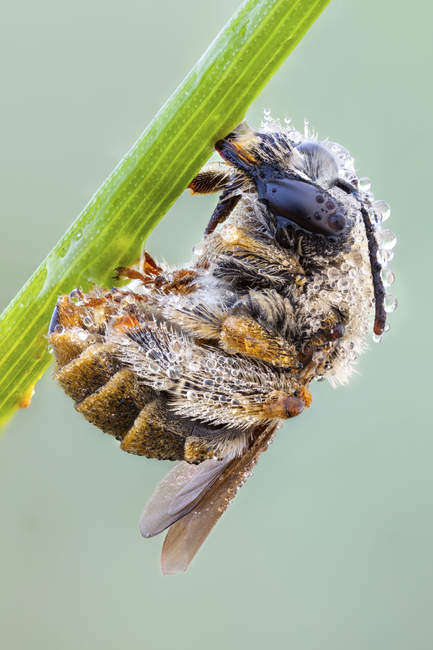 Habropoda bee covered by dew drops hanging on edge of green grass. — Stock Photo