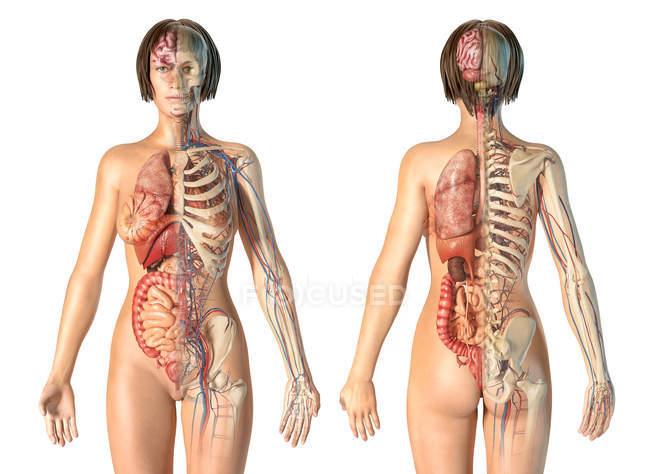 Анатомия женской анатомии сердечно-сосудистой системы со скелетом и внутренними органами. — стоковое фото