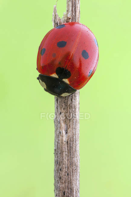 Seven spot ladybird sitting on dried stem. — Stock Photo