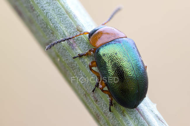 Close-up of leaf beetle on wild plant stem. — Foto stock