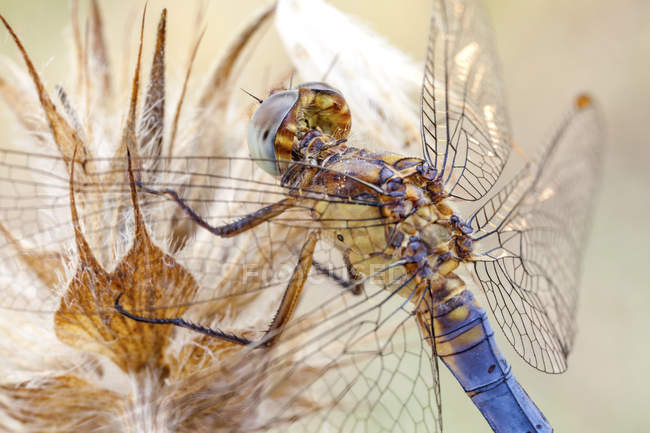 Close-up of dragonfly perched on dried wild plant. — Foto stock