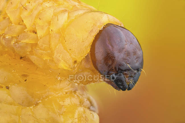 Close-up of chestnut weevil grub portrait. — Stock Photo