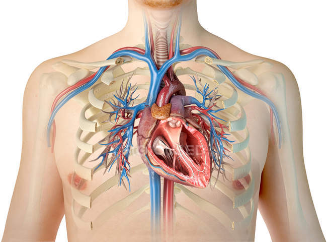 Silueta humana mostrando corazón con vasos sanguíneos y árbol bronquial sobre fondo blanco . - foto de stock