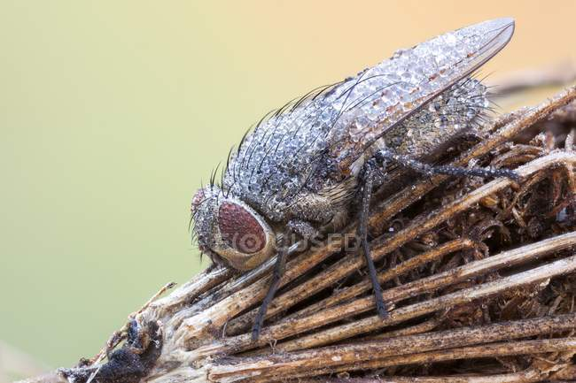 Close-up of cluster fly on dried wildflower stem. — стоковое фото