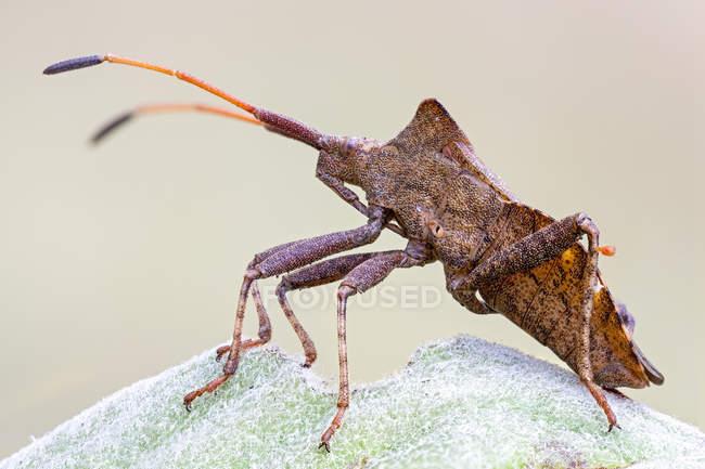 Close-up of dock bug sitting on fresh leaf. — Foto stock