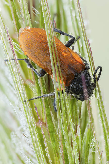 Close-up of darkling beetle sleeping on dew covered spikes. — Photo de stock