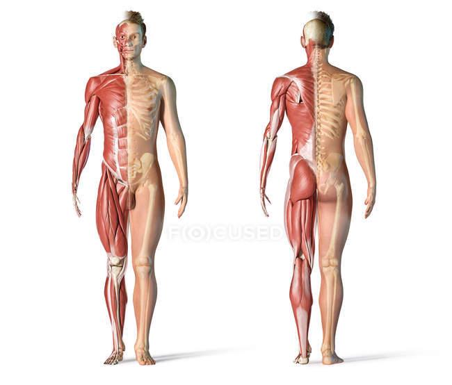 Чоловіча Анатомія м'язових і скелетних систем на білому фоні. — стокове фото