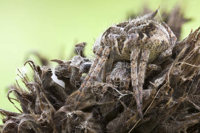 Close-up of camouflaged orb weaver spider on dried wild plant. — стоковое фото