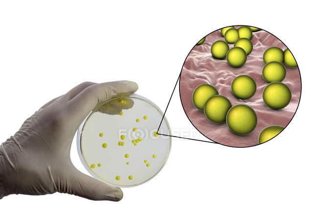 Image composite de la main d'un scientifique avec une colonie de bactéries Micrococcus luteus dans un milieu nutritif — Photo de stock