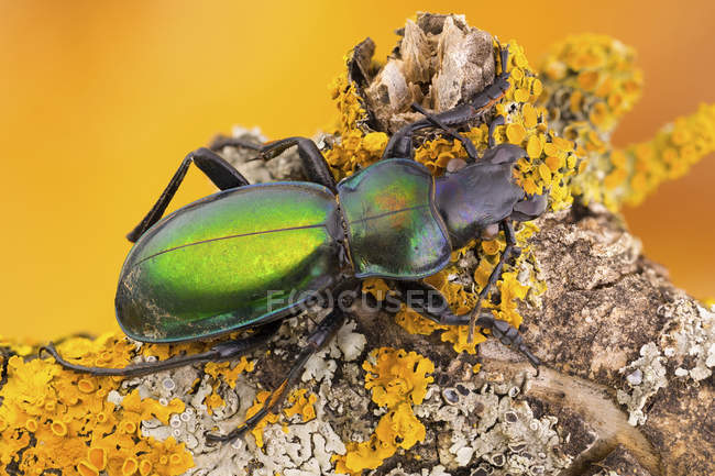Close-up of green carabid beetle on yellow lichens covered branch. — Stock Photo