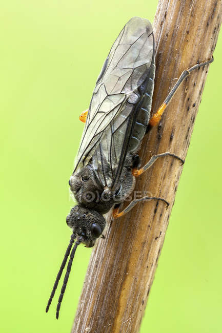Sawfly insect sitting on plant branch. — Stock Photo