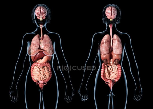 Анатомия женщины, показывающая внутренние органы на черном фоне. — стоковое фото