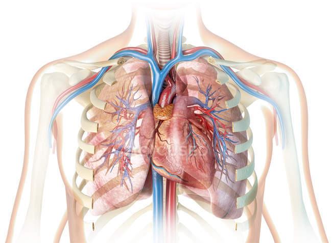 Corazón humano con vasos y caja torácica cortada sobre fondo blanco . - foto de stock