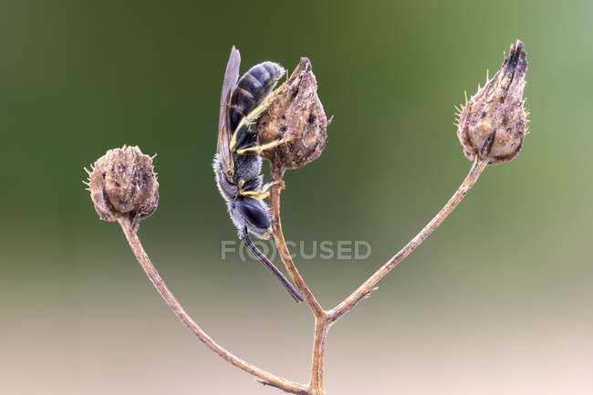 Close-up of halictid bee perched on wild plant. — Foto stock