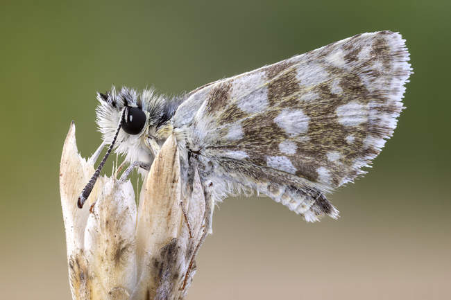 Close-up of checkered skipper butterfly on wild plant. - foto de stock