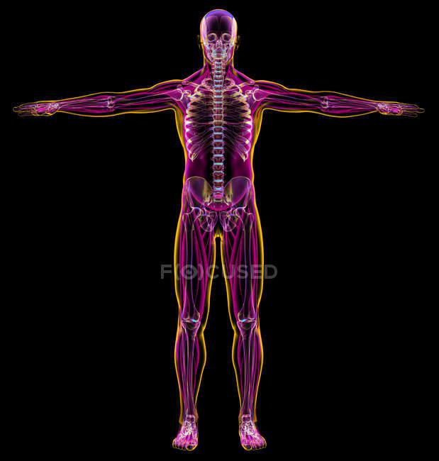Чоловіча діаграма рентген м'язових і скелетних систем на чорному фоні. — стокове фото