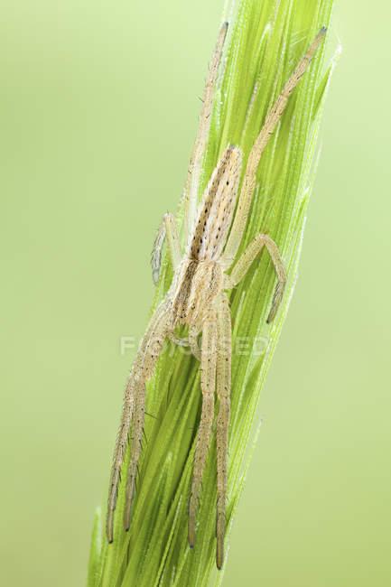 Esbelta caza de araña de cangrejo en pico de semilla de hierba. - foto de stock