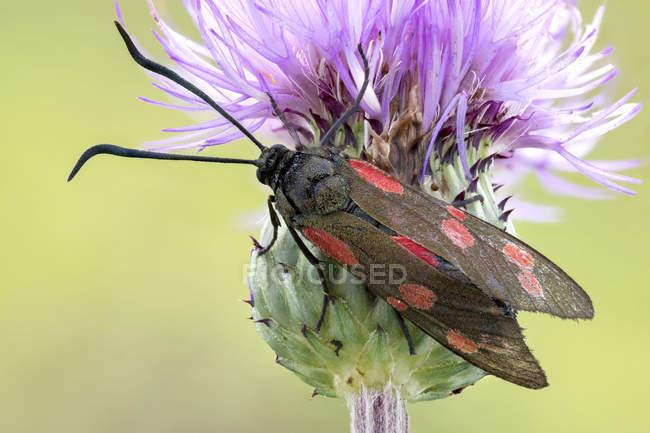 Шесть месте бернет моли на общий чертополох полевых цветов. — стоковое фото