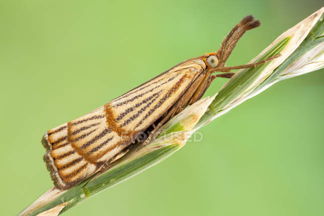 Close-up of chrysocrambus craterella moth on thin wild plant stem. — стоковое фото