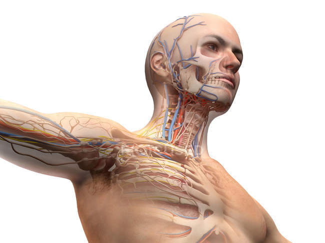 Male head and chest anatomy diagram with ghost effect on white background. — Stock Photo