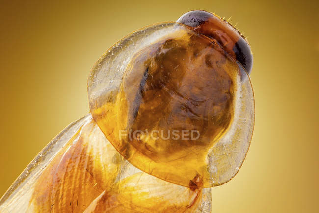 Close-up of German cockroach insect head, detailed macrophotography. - foto de stock