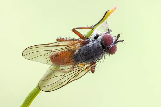 Pegomya mosca bicolor desde vista dorsal en la punta de la hoja de hierba. - foto de stock