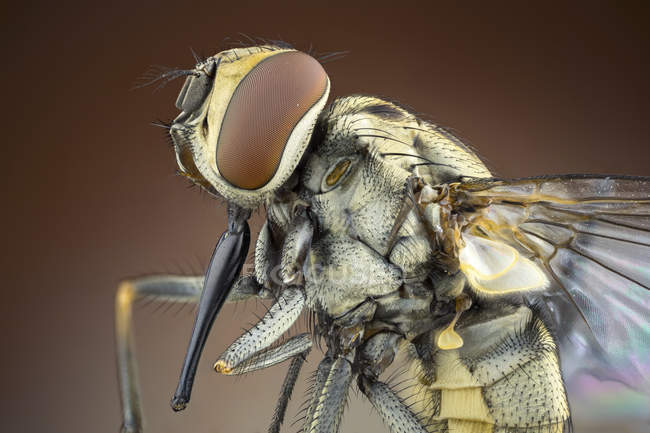 Stable fly in lateral detail shot. — Stock Photo