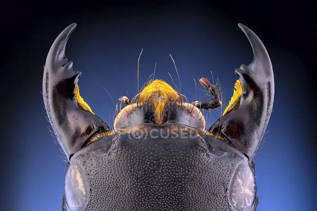 Close-up of devils coach horse beetle with large mandibles. — Fotografia de Stock