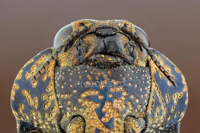 Вентральный вид на древесного жука-болота в дикой природе — стоковое фото