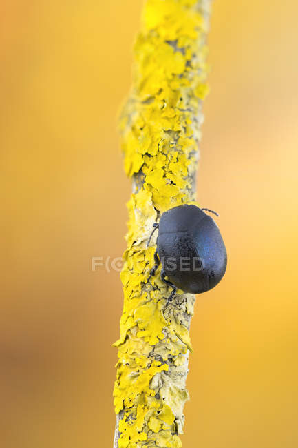 Close-up of black leaf beetle on piece of lichen-covered branch. — Foto stock