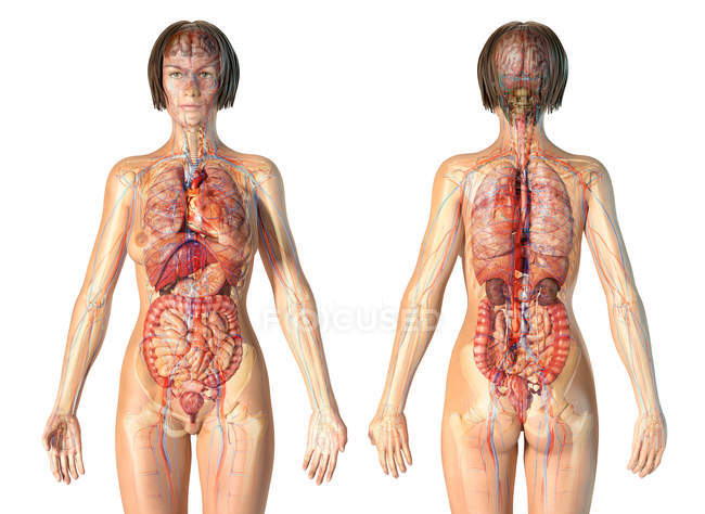 Female anatomy cardiovascular system with skeleton and internal organs. — Stock Photo