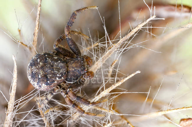 Close-up of bark crab spider on wild plant. — Photo de stock