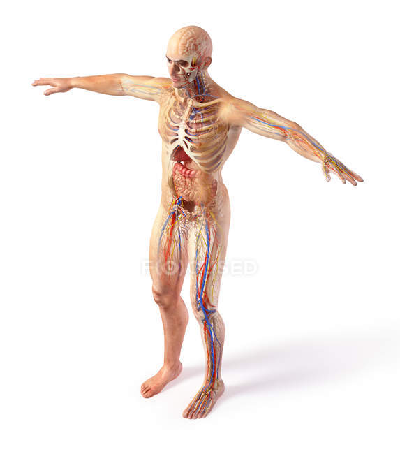 Male total anatomy systems diagram with ghost effect on white background. — Stock Photo