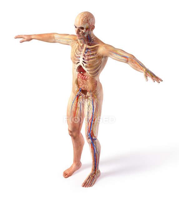 Схема мужских систем анатомии с эффектом призрака на белом фоне. — стоковое фото