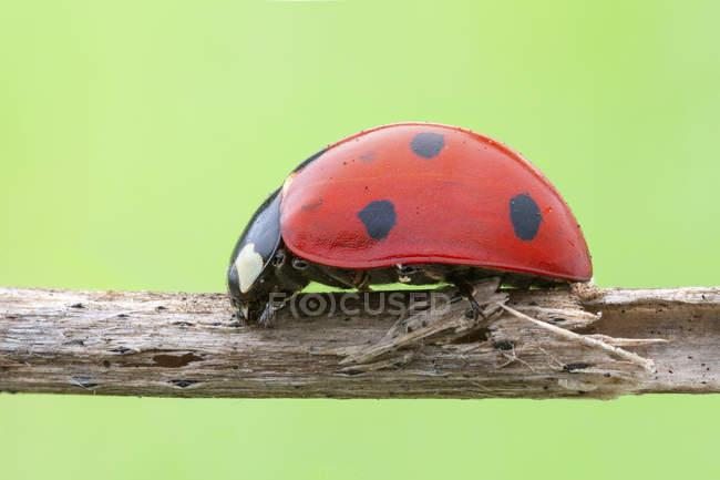 Seven spot ladybird walking on dried stem. — Stock Photo