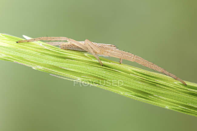 Slender crab spider on leaf in hunting position. — Stock Photo