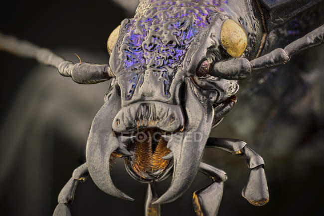 Close-up of ground beetle detailed portrait in macrophotography. — Photo de stock