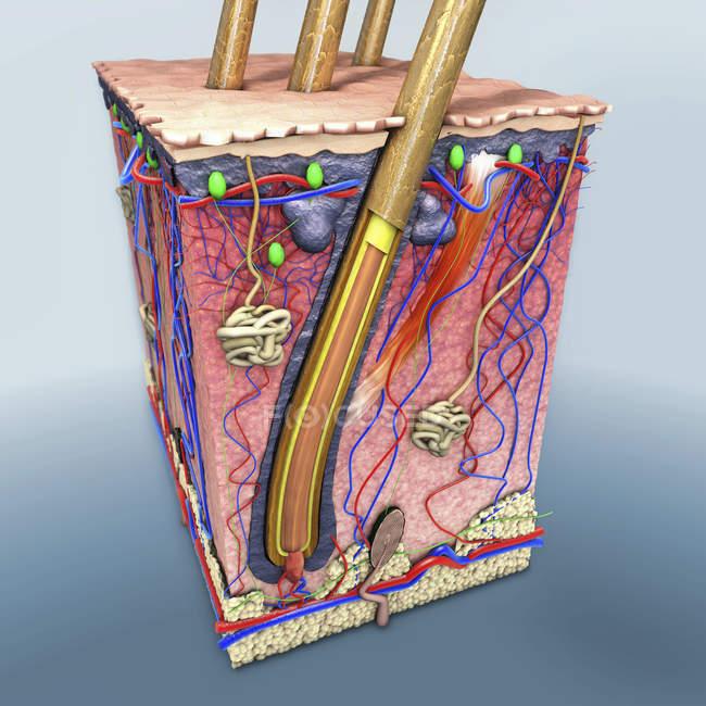 Иллюстрация сечения кожи человека с волосяным фолликулом и кровеносными сосудами. — стоковое фото