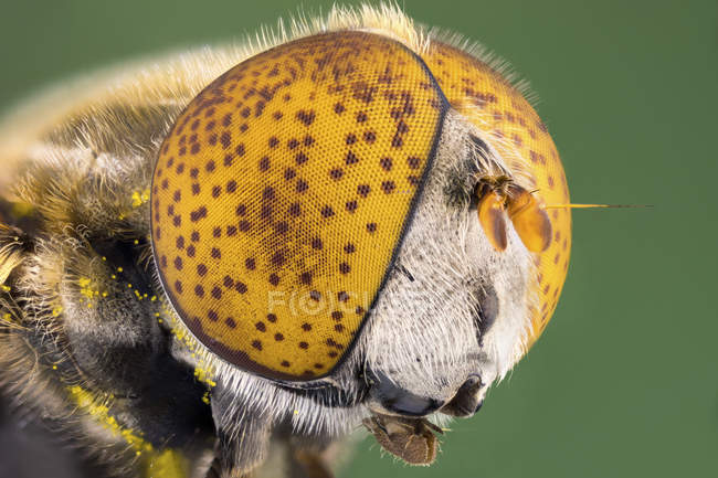 Spotted eye hoverfly in detailed portrait shot. — Stock Photo