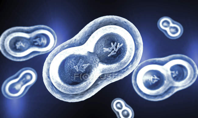 Illustration of transparent cells with splitting nucleus, cell membrane and visible chromosomes. — Stock Photo