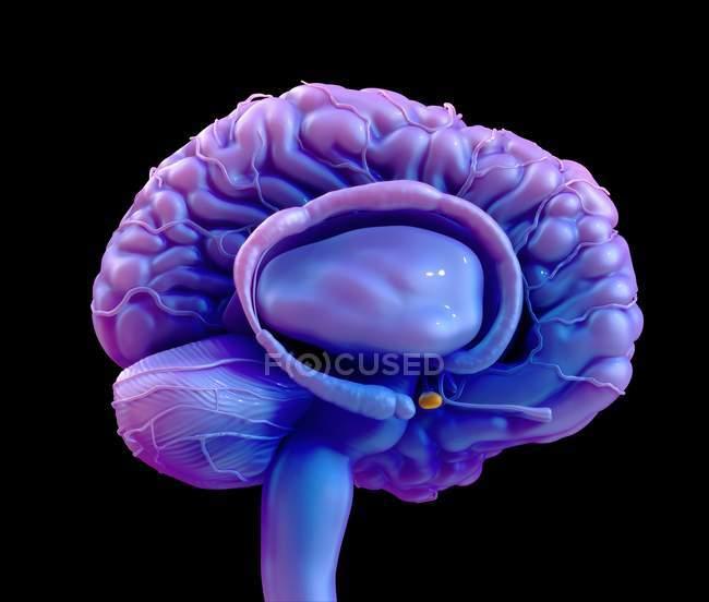 Ghiandola pituitaria del cervello umano, illustrazione digitale. — Foto stock