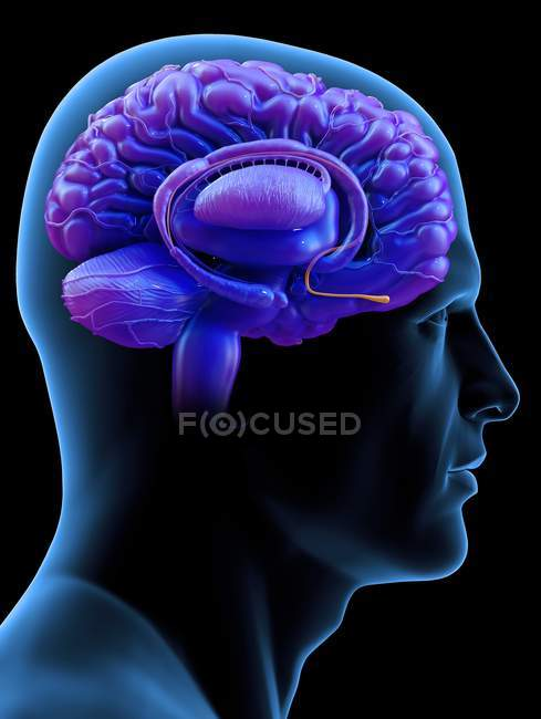 Lampadina olfattiva del cervello umano, illustrazione digitale. — Foto stock
