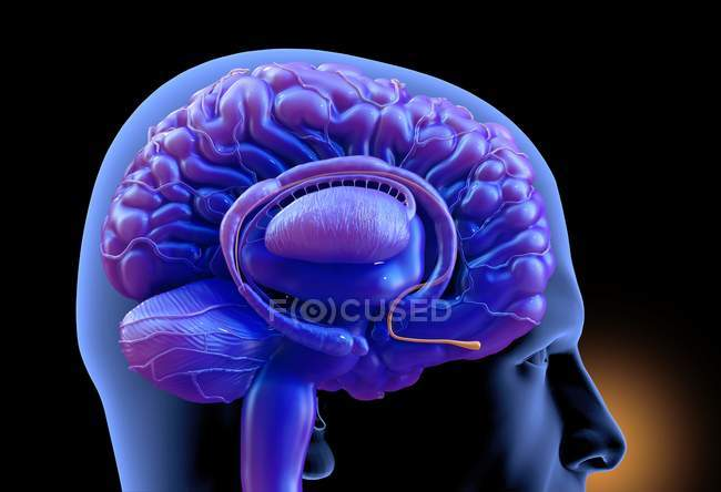 Purple colored human brain, digital illustration. — Stock Photo