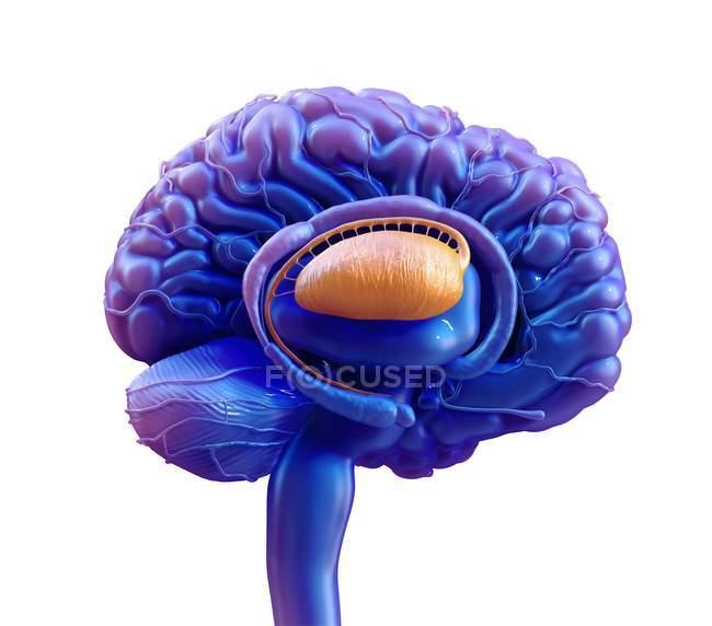 Кольорові Базальні ганлії людського мозку, цифрова ілюстрація. — стокове фото