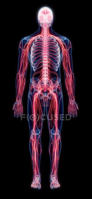 Système nerveux humain, illustration numérique. — Photo de stock