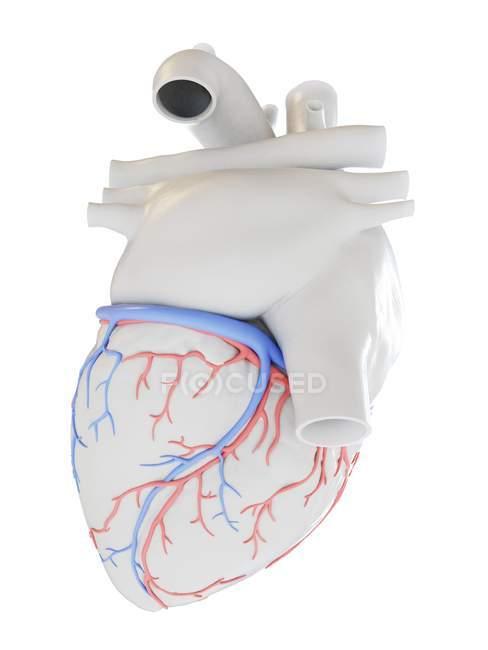 Coeur humain avec les vaisseaux sanguins coronaires, illustration. — Photo de stock