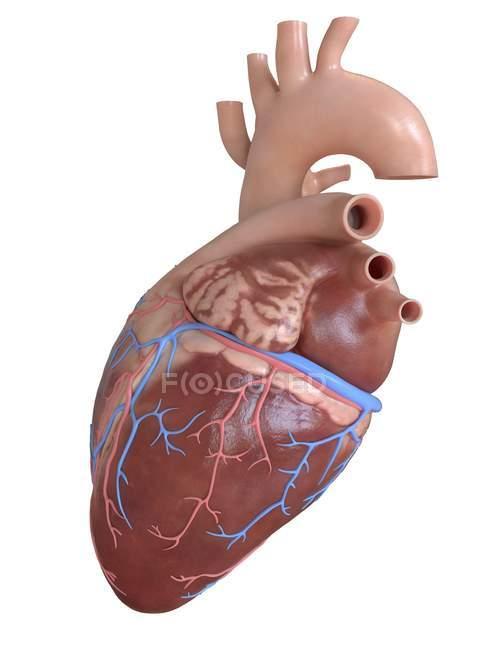 Corazón humano con venas y arterias coronarias, ilustración digital . - foto de stock