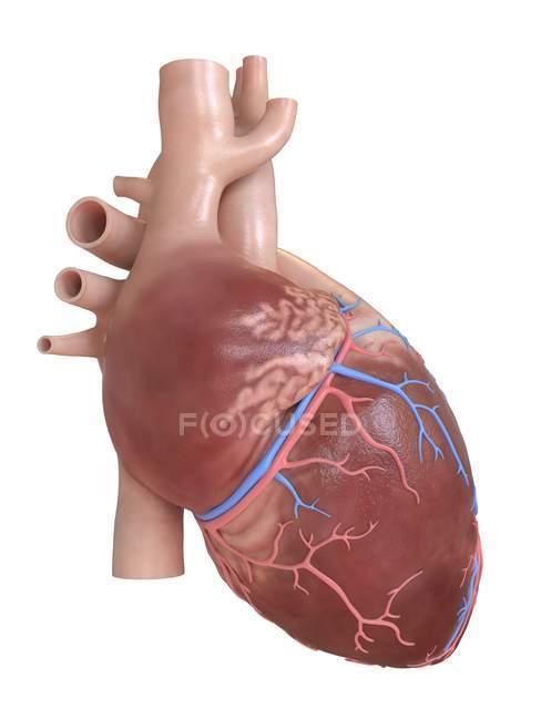 Corazón humano realista, ilustración digital . - foto de stock